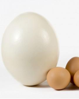 Uovo di struzzo fresco da consumo - medio 1,2 kg circa - Trentina Struzzi Soc. Agricola